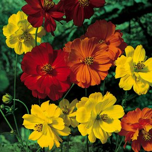 Цветы Космея Космик F1, смесь (20шт)