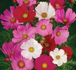 Цветы Космея Сенсация (0,3г)