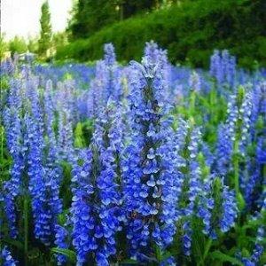 Цветы Котовник Голубой ковер (0,02г)