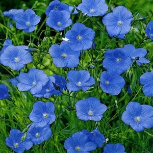 Цветы Лен многолетний Небесная лазурь (0,5г)