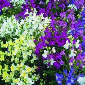 Цветы Льнянка Калейдоскоп, смесь (СР) (0,2г)
