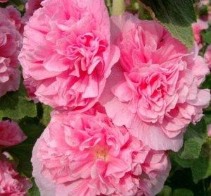 Цветы Мальва Ньюпорт розовая (0,2г)