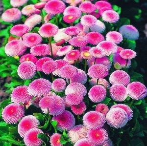 Цветы Маргаритка Тассо F1 (20шт)