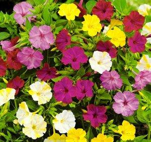 Цветы Мирабилис Ялапа, смесь (1г)