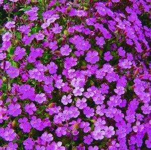 Цветы Мыльнянка Вдохновение (0,1г)