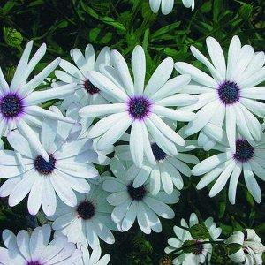 Цветы Остеоспермум Прохлада (15шт)