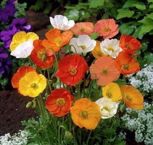 Цветы Папавер Монпансье смесь (СР) (0,05г)