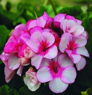 Цветы Пеларгония Звезда Подмосковья (5шт)