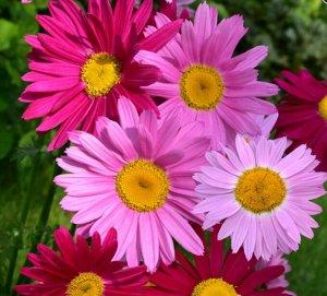 Цветы Пиретрум Малиновые гиганты (200%) (0,4г)
