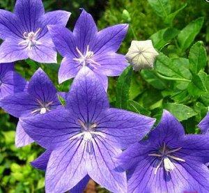 Цветы Платикодон Царь-Колокол крупноцветковый (8шт)