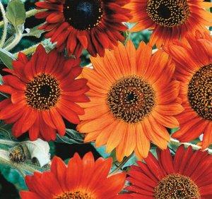Цветы Подсолнечник Вокруг света, смесь (20шт)