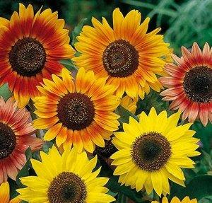 Цветы Подсолнечник Луна и Солнце, смесь (0,5г)