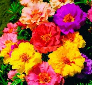 Цветы Портулак Каламбур, смесь (0,1г)
