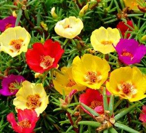 Цветы Портулак Соня, смесь (200%) (0,2г)