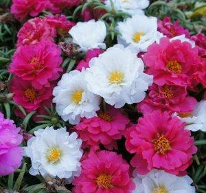 Цветы Портулак Хэппи, специальная смесь (8шт)