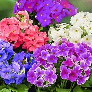 Цветы Примула Погладь Меня F1, смесь (5шт)
