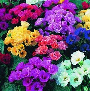 Цветы Примула Рози махровая F1, смесь (5шт)