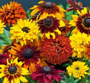 Цветы Рудбекия Очей очарованье, смесь (30шт)