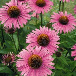 Цветы Рудбекия Пурпур (0,2г)