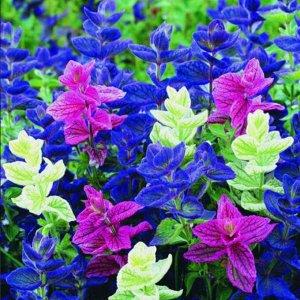Цветы Сальвия хорминум Мраморные ворота, смесь (30шт)
