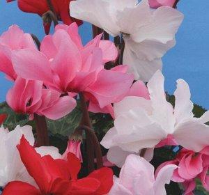 Цветы Цикламен Русский размер, смесь (5шт)