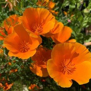 Цветы Эшшольция Аура (0,2г)