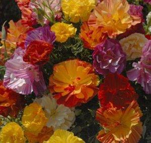 Цветы Эшшольция Русский размер Яркая смесь (50шт)