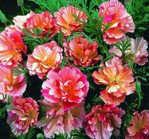 Цветы Эшшольция Цветок Яблони (0,1г)