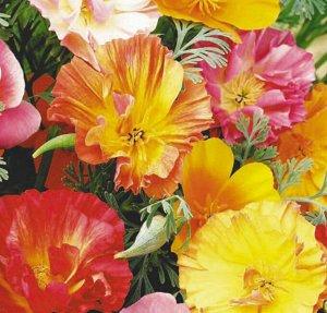 Цветы Эшшольция Шифон, смесь (0,1г)