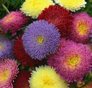 Цветы Астра Минуэт, смесь (50шт)