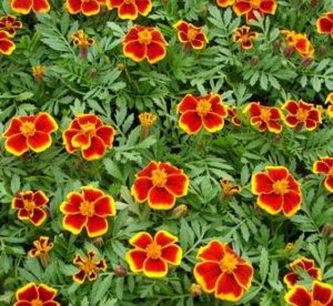 Цветы Бархатцы Веселая полянка  отклоненные 0,3г Гавриш