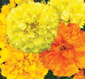 Цветы Бархатцы Солнечный круг (смесь) (15шт)
