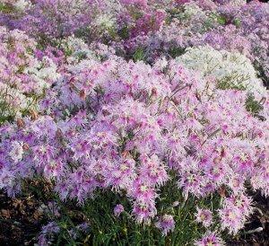 Цветы Гвоздика гибридная Дыхание любви, смесь (60шт)
