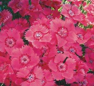 Цветы Гвоздика Мулен Руж, смесь (60шт)