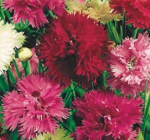 Цветы Гвоздика перистая Махровый ковер (0,1г)