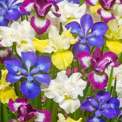 Рассада Махровых тюльпанов Экспресс — Голландские ирисы, колеус, хризантема
