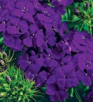 Цветы Гвоздика Турецкая Фиолетовая гора 0,25г Поиск