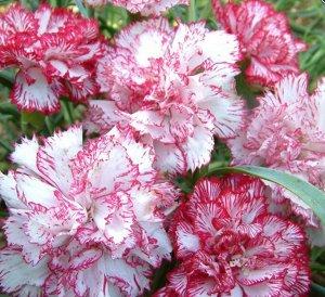 Цветы Гвоздика Шабо Пикоти, смесь (0,1г)