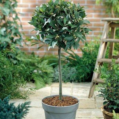 Хищный Sale! Огромный выбор комнатных растений!  — Лавр — Декоративнолистные