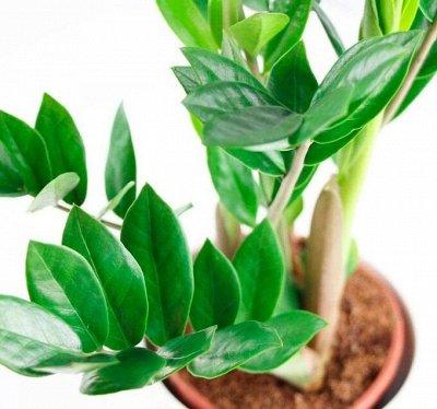 Хищный Sale! Огромный выбор комнатных растений!  — Замиокулькасы — Декоративнолистные