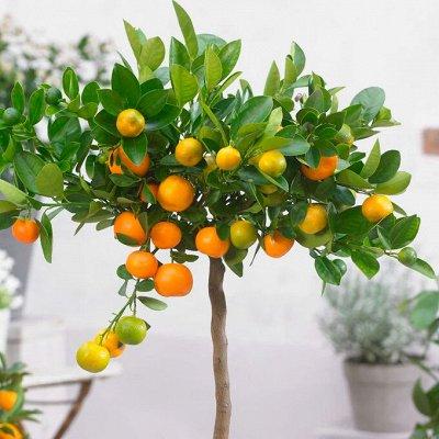 Хищный Sale! Огромный выбор комнатных растений!  — Цитрофортунелла — Декоративноцветущие
