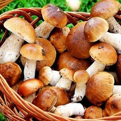 Семена Алтая. — Грибы — Мицелии грибов