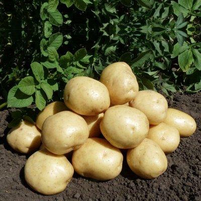 Саженцы винограда, лук-севок, картофель-все в наличии!