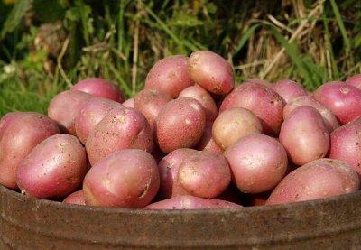 Картофель семенной в наличии и в пути — Картофель семенной Россия (Хабаровск) в наличии — Семена овощей