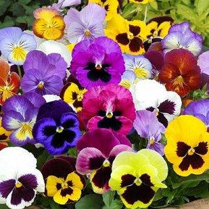 Семена Цветы Виола 0,1г Гавриш