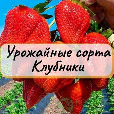 Рассада КЛУБНИКИ. Морозостойкие сорта, крупные плоды — Урожайные сорта Клубники