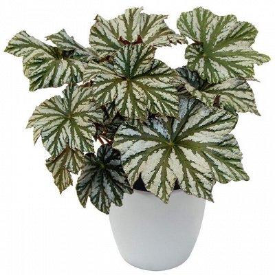 Цветочный дворик 💐 — Бегонии. Свежесрезанные листья