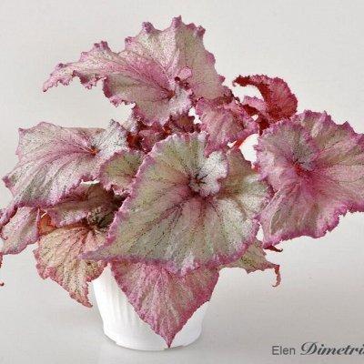Цветочный дворик 💐  — Бегонии. Свежесрезанные листья — Декоративноцветущие