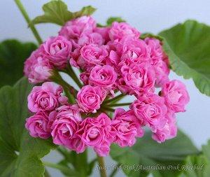 Пеларгония Australien Pink Rosebud /ЧЕРЕНОК