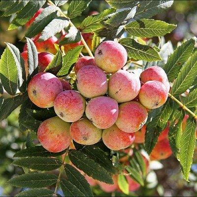Розы Tantau и плодовка в наличии — Отечественная плодовка